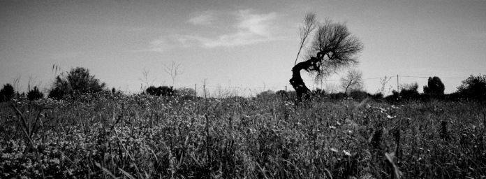 An olive tree infected with the Xylella virus. Gallipoli (Lecce), Italy 2016. © Matteo Bastianelli