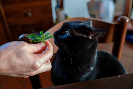 A cat is seen eating a cannabis leaf coming from the plantation of its owner, a cannabis user for recreational purposes. Italy 2016. © Matteo Bastianelli