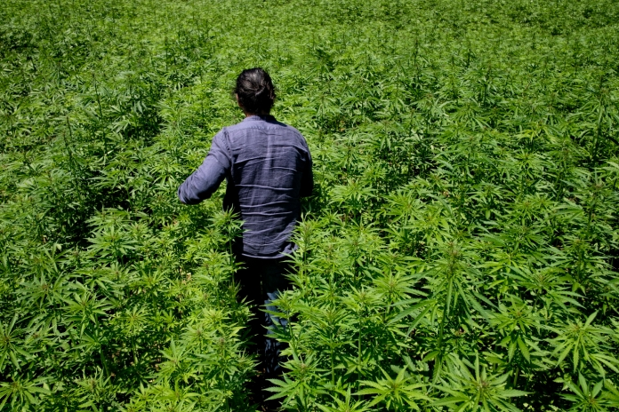 Eugenio Durante is seen walking among his industrial hemp plants on a 4000-meter field. On 31 August 2015, Eugenio was arrested on felony distribution charges following an inspection of his legally declared hemp farm. Law enforcement found 4 Cannabis Indica plants in his house. Bassano nel Cimino (Viterbo), Italy 2016. © Matteo Bastianelli