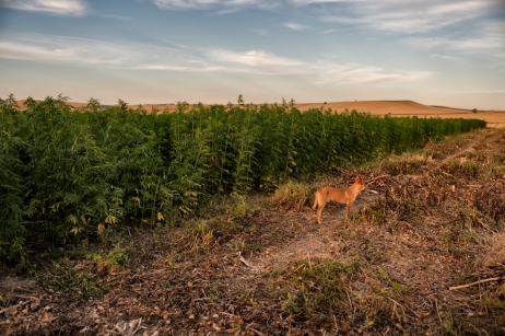 A dog in front of a five-hectare field planted with industrial hemp on Antonio Cerozzi's farm where cereals, fruit and vegetables are produced. The owner plans to plant one quarter of his 24 hectares with industrial hemp over the coming years. Torremaggiore (Foggia), Italy 2016. © Matteo Bastianelli