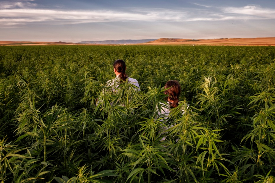 Antonio Cerozzi, owner of a farm that produces cereals, fruit and vegetables, is seen with Rachele Invernizzi walking among his industrial hemp plants on a five-hectare field. Torremaggiore (Foggia), Italy 2016. © Matteo Bastianelli